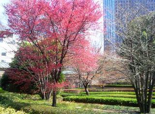 泉ガーデン山桜.JPG